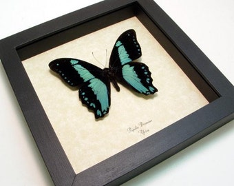 Best Seller 16 Years Real Blue Butterfly Display 7795