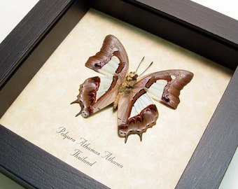The Common Nawab Real Framed Butterfly 8026v