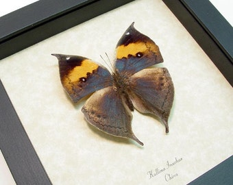 Real Framed Purple Leaf Mimic Butterfly Display 607