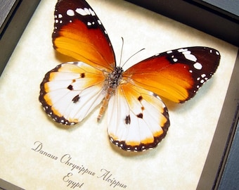 Real Framed Ancient Egyptian Butterfly African Monarch Plain Tiger Danaus chrysippus alcippus 8170