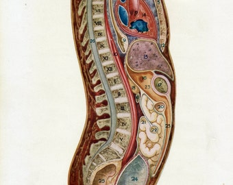 Antique Print of a Colourful Torso, Side View. From 1914 Medical Work