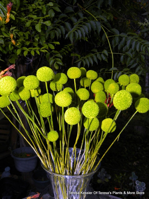 25 Spring Green Craspedia-Billy Balls-Billy Buttons-green Wedding Flowers-Bundle of 25