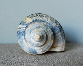Blue Seashell Print, Sea Shell Photography, Nature Photography, Still Life Photography, Grey Blue Wall Decor, Seashell Art, Blue Beach Decor