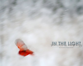 Cardinal in Snow #6 - fine art photography