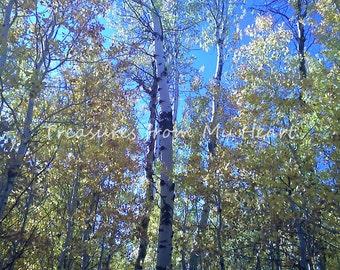Fine Art Photograph of Fall Aspens