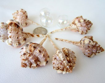 Beach Decor Murex Shells - Nautical Seashells, Murex  Haustellum 2-3in, 3pc