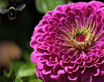Magenta Flower and Bumblebee. Photograph by Liz Hutnick. Flower Photography. Nature Photo