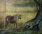 Shetland Pony _ fine art, Animal Photography , pony,  horse photo's,