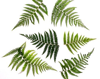 Real Pressed Fern Fronds Small - Perfect for Weddings, Events, Decorations, Art & Craft Projects, Holidays, Cards, ScrapBooking
