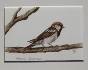Fine Art Print - House Sparrow -  Bird - Watercolor ACEO with Mat - Artist Signed