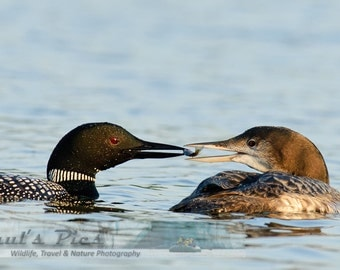 Loon Feeding, 8x12 Fine Art Photograph (D2317), Nature photography, wildlife photography