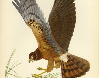 CLEARANCE Marsh Hawk Print by Menaboni of Book Plate