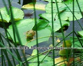 Frog on Lily Pad in Marsh photograph