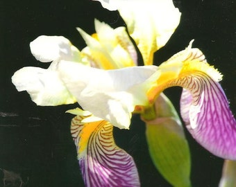 Purple and White Iris Flower on Blank Photo Note Card - Flower Photography Perfect All Occasion Note Card