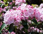MOUNTAIN LAUREL - 4oz Perfume for Women - Floral Fruity Fragrance Family / Main Accords; Fruity, Floral, Sweet, Juicy