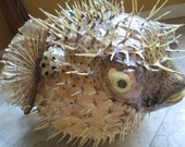 """Giant 20"""" Taxidermy Puffer Fish - SHIP FREE"""