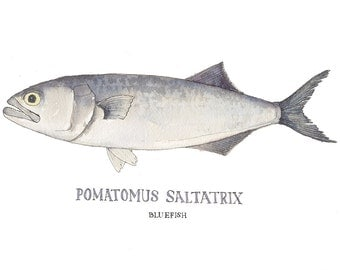 Long Island Bluefish,  Watercolor Nature Illustration, Art Print