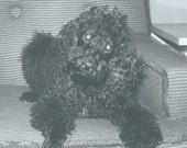 Vintage Photograph Photo Snapshot Pure Bred Black Standard Poodle Dog Puppy On Chair