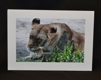 Original Photography Note Card - Lion 4