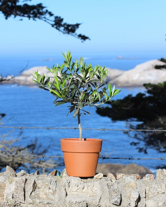 Live european olive tree in clay terra cotta by for Olive trees in pots winter care