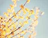 """Nature Photography - yellow blue floral spring forsythia branches print flower shabby chic - 11x14, 8x10 Photograph, """"The Romance of Spring"""""""