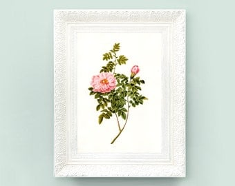 8x11 Vintage Rose Print. Vintage Botanical Print Redoute Roses Redoute Print. Pink Rose Wildflower French Encyclopedia Illustration RD2