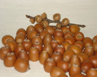 Real Acorns without Caps, Lot of 60, DIY Craft Floral Wreath Supplies, Holiday Decor Ideas. Ecofriendly Goods for craft, Children Kids Craft