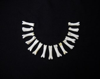 "Multipack DRILLED .75""-1"" Coyote Toes Real Bone Knucklebone Taxidermy Human Finger Bones Phalanx Phalanges Pendant Beads"