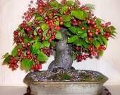 Heirloom 20 European Crab Apple Seeds Malus micromalus Midget crabapple Malus sylvestris Bonsai Seeds T018