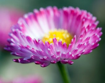 Heirloom 2000 Seeds English Daisy Monstrosa Corsican Bellis Perennis Flower Bulk Seeds S020