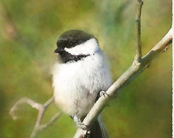 Three Chickadee's a collection of paintings