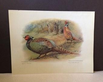 Pre 1940s Print Engraving by Charles Whymper Japanese Pheasant
