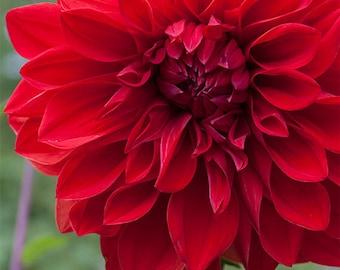 Red Dahlia 5 -- Fine Art Floral Photography Print -- Photo, Home Decor, Flowers, Art