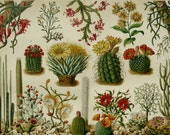 1897 Antique fine lithograph of CACTUS, CACTI. 119 years old gorgeous print.