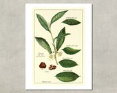 Chinese Tea Plant Botanical Print, 1915 - 8.5x11 Reproduction Antique Print - also available in 13x19 - see listing details
