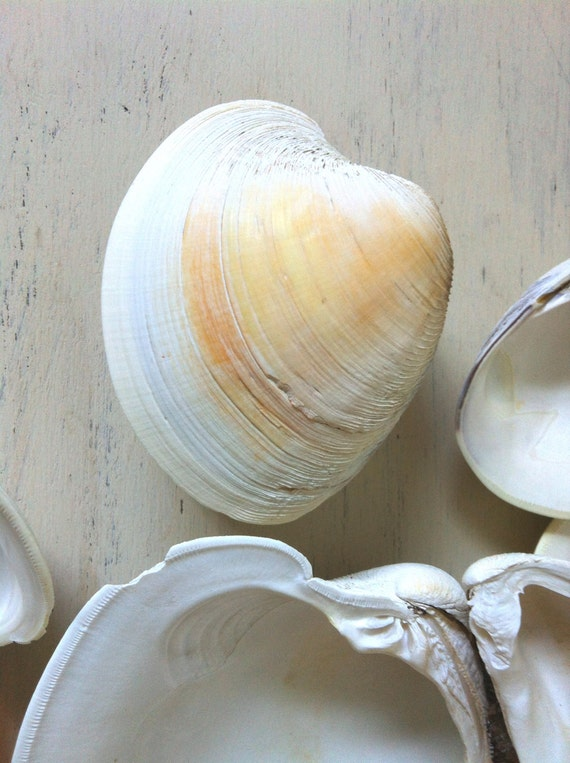 how to clean clam shells