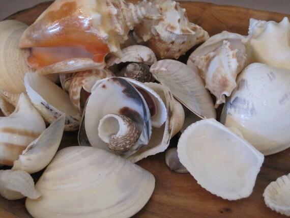 indian mix large size assorted shells coastal home