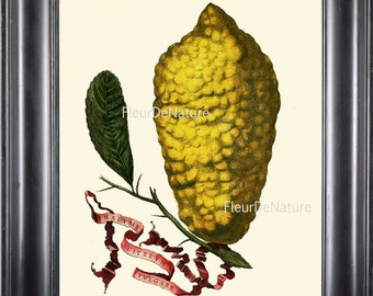 FRUIT PRINT Lemon 8X10 Botanical Art Print 1 1708 Antique Beautiful Golden Citrus Plant Tropical Garden Wall Hanging to Frame