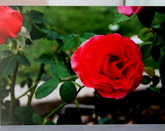Lovely 5 x 7 Note Card with Envelope of a Rose Garden
