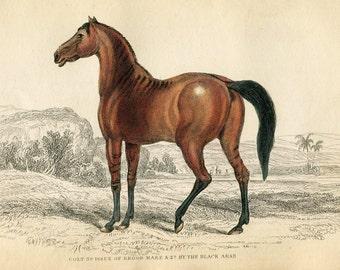 Antique Hand Coloured Bookplate Color Print Engraved Jardine 1840 Naturalists Mammalia Horses Foul Brood Mare Of Black Arab Plate 27