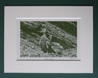 1930 Vintage Print Of  Pair Of Young Shags - Cormorant Print - Nature Photography - Sea - Natural History - Ornithology Print - Bird Print