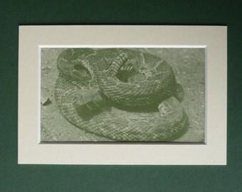 1950s Vintage Rattlesnake Print - Green Serpent Print - Vintage Snake Decor - Available Framed - Snake Art - Snake Print - Matted Art Print