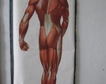 """Magnificent German Muscle Chart """"Die Muskeln des Menschen"""" c.1950"""