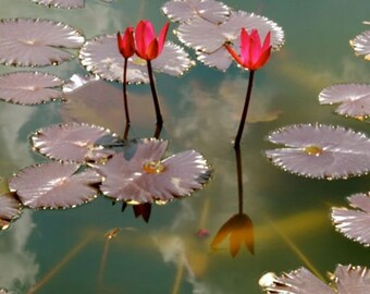 Red Water Lily Pond -  Flower Photograph - Wall Decor - Garden Art - Reflections - Lily Pad  - Nature Photograph