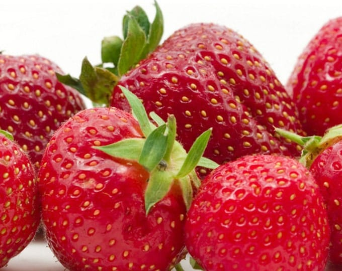 Allstar Strawberry Plants Organic 20 Bare Root Plants June Bearing Shipping Now