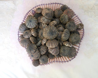 30 pcs black sea urchins, Special offer, Summer collection, a real sea treasure.