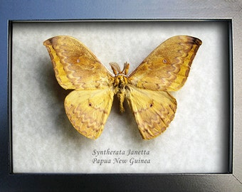 Real Emperor Moth Syntherata Janetta In Museum Quality Shadowbox