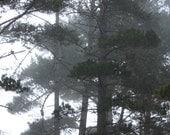 Morning coastal fog through Skyline Forest, Monterey CA, dark green, shadow grays, white background, dark branches, landscape photography