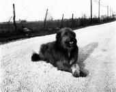 Vintage Photo Negative ~ Dog Road Block!