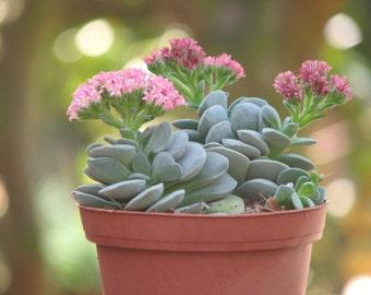 Crassula Morgan Beauty Succulent Plant
